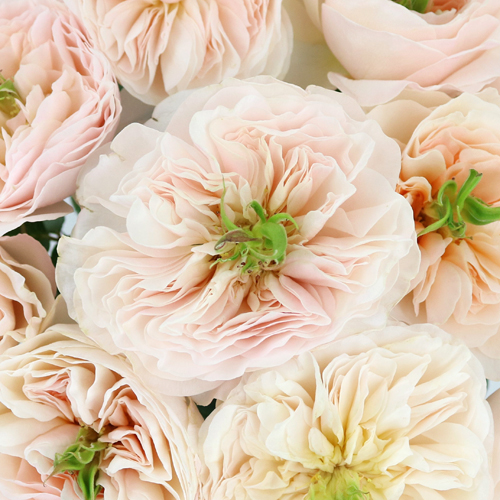 David Austin Charity Garden Rose
