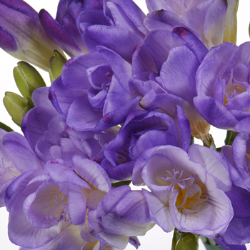 Grape Ice Designer Freesia Flower
