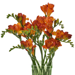 Bulk Red Freesia Flower