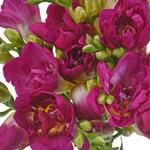 Bulk Dark Pink Freesia Flower