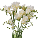 Bulk White Freesia Flower