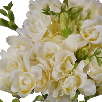 White Designer Freesia Flower