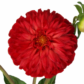 Honeycomb Red Dahlia Flower