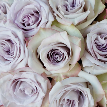 Frosted Amethyst Rose