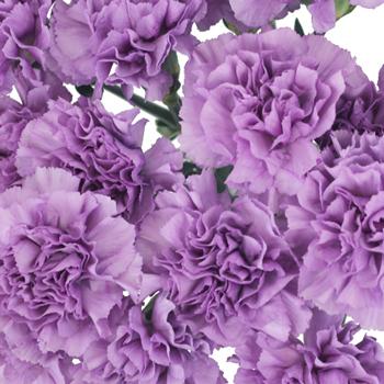 Purple Deep Lavender Carnation Flowers