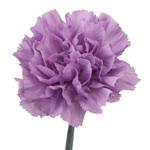 Fresh Carnation Purple Deep Lavender