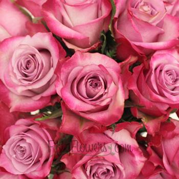 Raspberry Kiss Lavender Rose