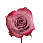 Bicolor Rose Ambiance