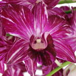 Marbled Wholesale Dendrobium Orchids Bloom