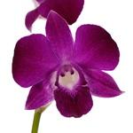 Violet Wholesale Dendrobium Orchids Bloom