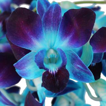 Tie Dye Wholesale Dendrobium Orchids Bloom