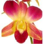 Golden Wholesale Dendrobium Orchids Bloom