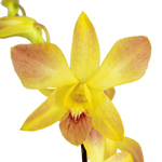 Tropical Event fresh Dendrobium Orchids Bloom
