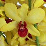 Banana Tropics fresh Dendrobium Orchids Bloom