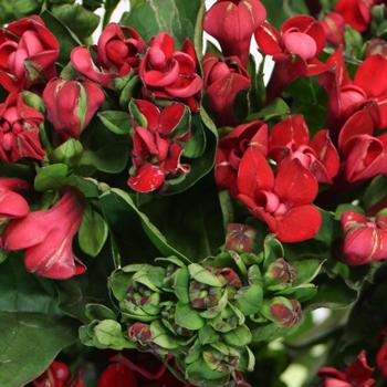 Bouvardia Red Flower