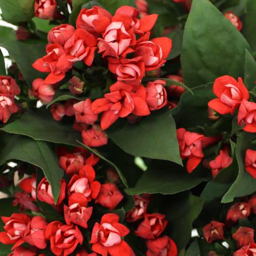 Bouvardia Coral Flower