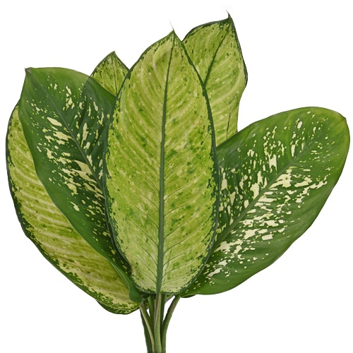 Dieffenbachia Mix Leaves