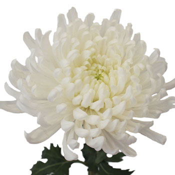 Ivory White Disbud Flower