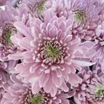 Pink Bulk Eleonora Cremon Flower