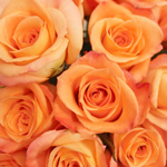 Peach Rose Donna