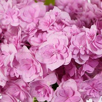 Irresistible Pink Double Hydrangea
