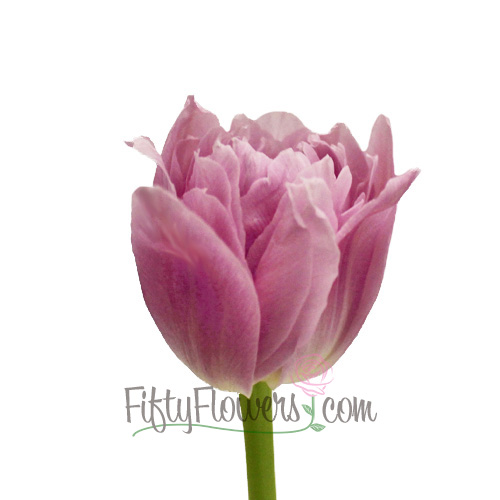 Pinky Purple Double Tulip