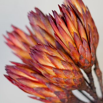 Dried Red Protea Flower