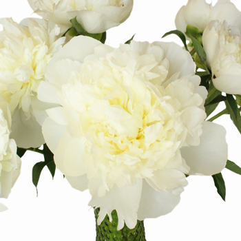 White Peony Flower October Delivery