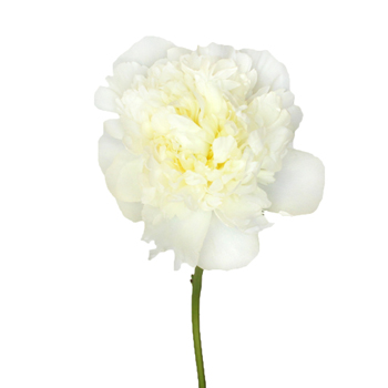 Duchess White Peonies Flower November Delivery