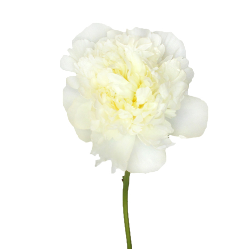 Duchess White Peonies Flower January Delivery