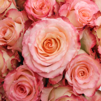 Duett Pink and Cream Rose