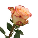 Wholesale Rose Duett Cream Pink