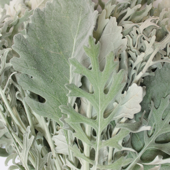 Wedding greenery dusty miller leaf filler flowers sold near me