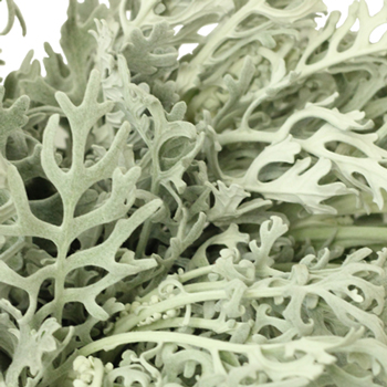 Dusty Miller Lacy Leaf Greenery