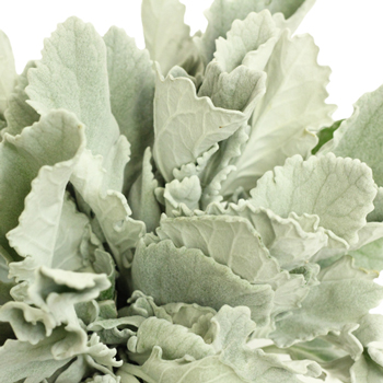 Wedding greenery dusty miller filler flowers sold near me