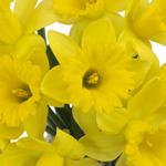Bulk Yellow Daffodil Flower