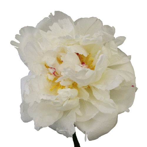 White Peonies Flower September Delivery