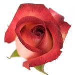 Cream Rose Sahara