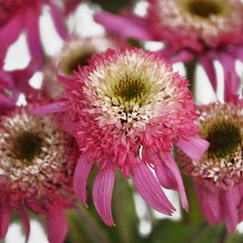 Flowering Echinacea Pink Flower Pod