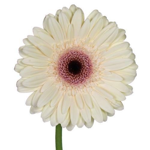 Ivory Blush Gerber Daisy Flower