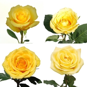 Valentine\'s Bright Yellow Rose Special