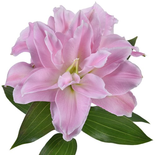 Light Pink Rose Lily