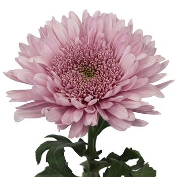 Misty Mauve Cremon Flower