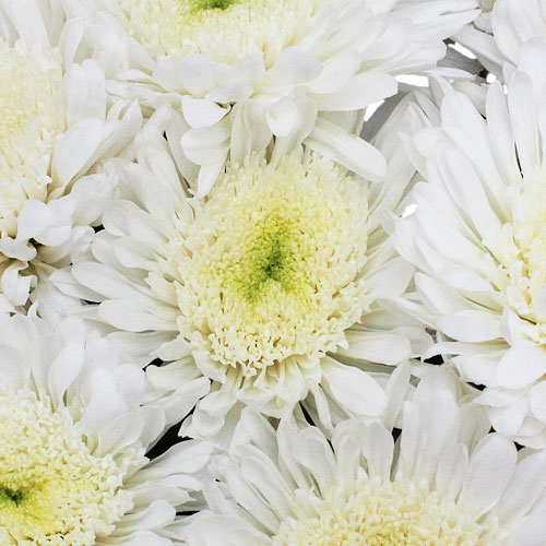 Snow White Cremon Flower