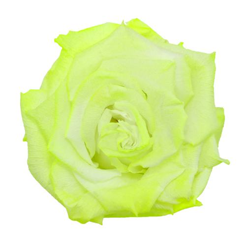 Preserved Electric Green Rose