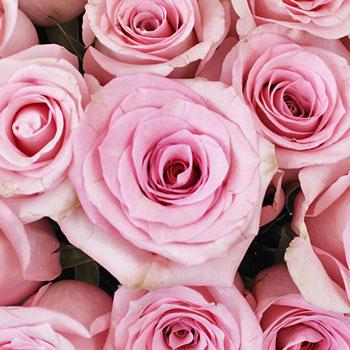 First Light Pink Rose