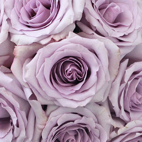 Ocean Song Lavender Rose