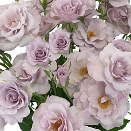 Antique Lavender Spray Roses Bulk