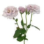 Little Silver Mini Rose Wholesale