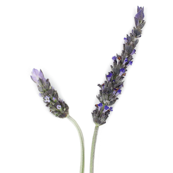 Aromatherapy Fresh Lavender Bunches